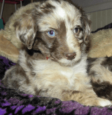 Baby Blue Ribbon Merle Male (Amy and Family)