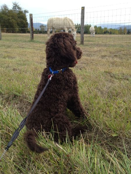 Bruno - 5 month old Chocolate Multigen Labradoodle - Adolescent Stage - Socialization and Leash Training