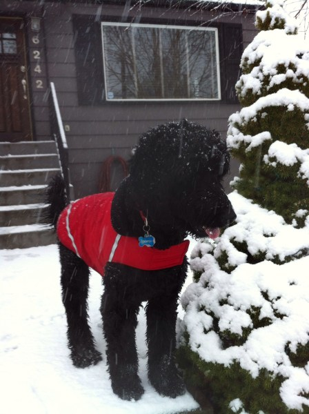 Cooper in the snow - Black F1 Goldendoodle
