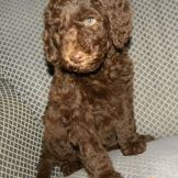 Pink Girl - 7 wks F1b Labradoodle Available