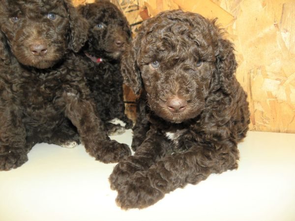 Small Standard Poodles for Sale in Washington State
