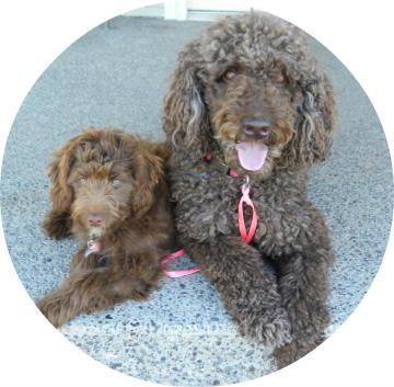 standard poodle and mini aussiedoodle