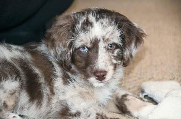 Here is Ziggy a Mini Aussiedoodle at 10 weeks.