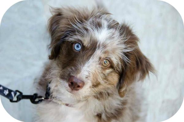 Here is Ziggy a Mini Aussiedoodle at 12 weeks.