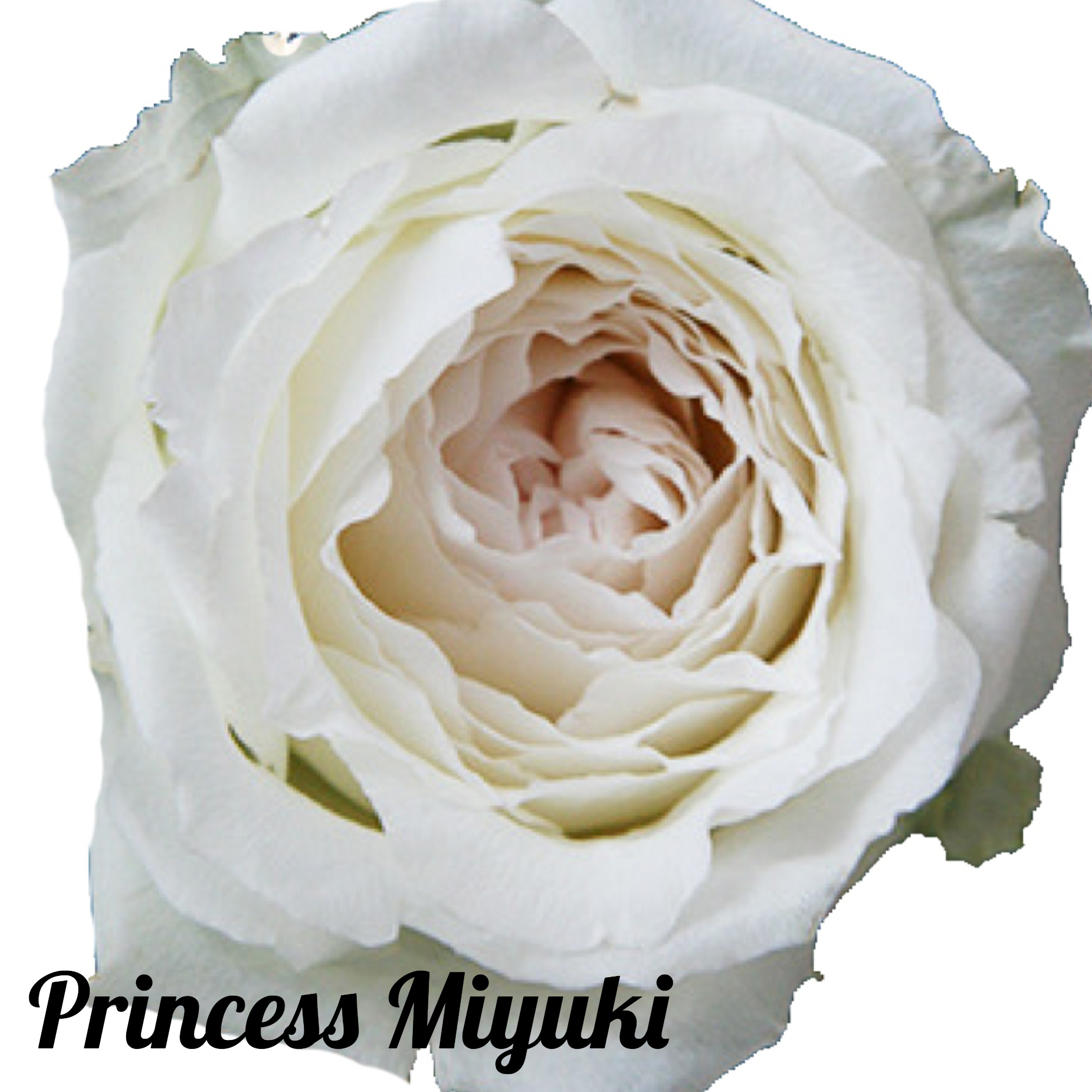 Princess Miyuki  Dreisbach Wholesale Florists