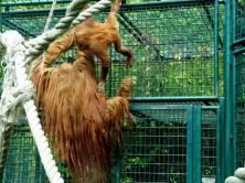 Affe mit Nachwuchs