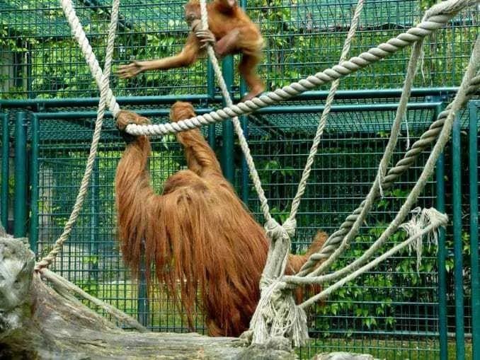 Affen beim spielen