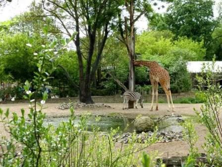Giraffe mit Zebra