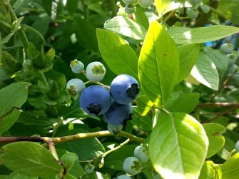 Leckere Beeren im Garten