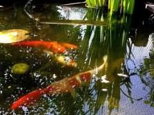 Fische im Kleingartenteich