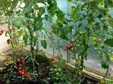Tomatenzelt in Dresden