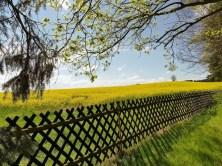 Rapsfeld mit Zaun
