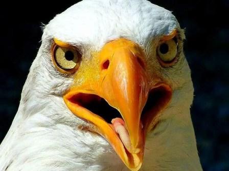Greifvogel nahaufnahme mit offenem Schnabel