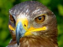 Greifvogel Nahaufnahme