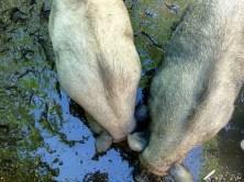 Schweine wühlen im Schlamm