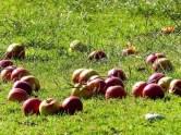 Tierfutter Äpfel auf Wiese