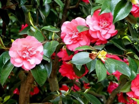 Blüten Kamelie Blätter Schloss Pillnitz