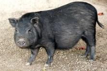 Schwarzes Schwein Wildpark Osterzgebirge