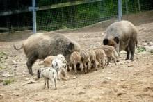 Wildschweine mit Jungen Wildpark Osterzgebirge