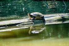 Wasserschildkröte Carolasee