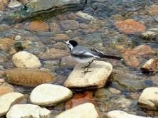 Vogel auf Stein im Flussbett