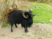 Schwarzer Ziegenbock mit Hörnern