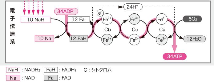 代謝~酸化的リン酸化と基質レベ...