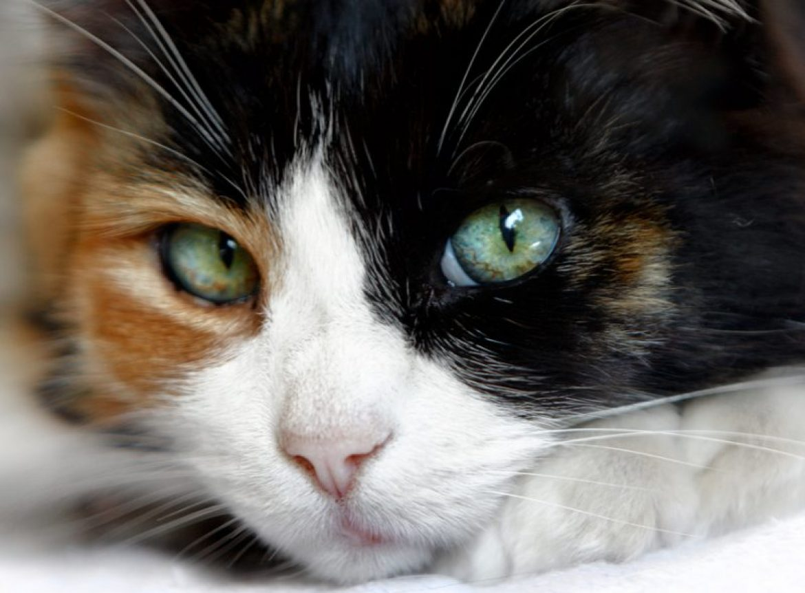 Why Male Calico Cats Are As Infrequent As Hens Teeth