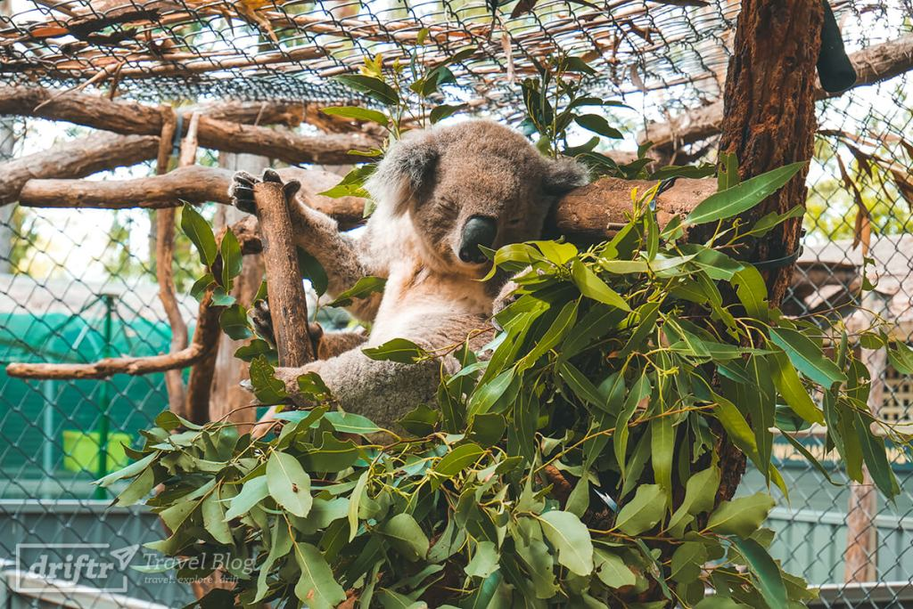 Koala im Koala Hospital Port Macquarie