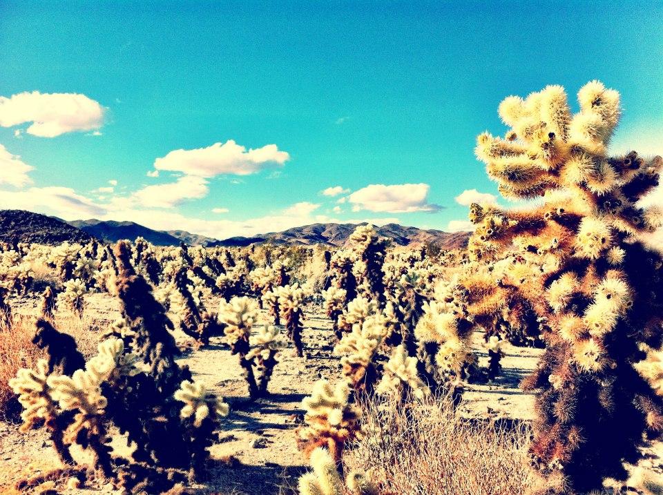 crazy cactus in Joshua Tree National Park