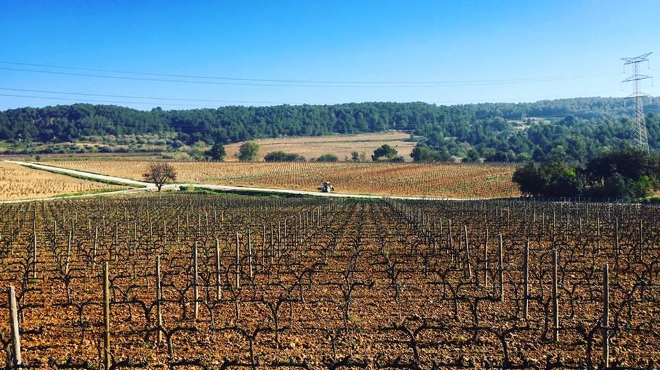 The Vines at Jean Leon bodega in Penedes outside of Barcelona