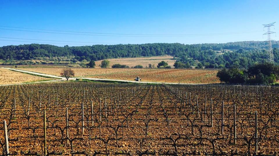 The Vines at Jean Leon bodega in Penedes outside of Barcelona
