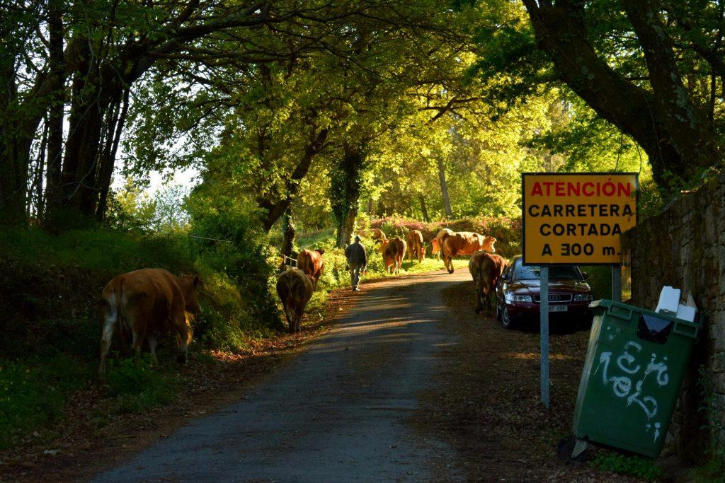 Cows in the Way - Camino de Santiago