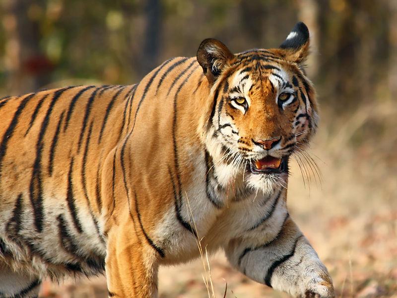 India Tiger