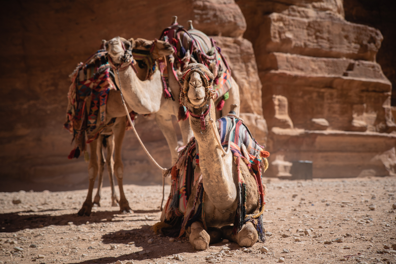 Camels in Petra, Jordan - by Ben Holbrook from DriftwoodJournals.com-15