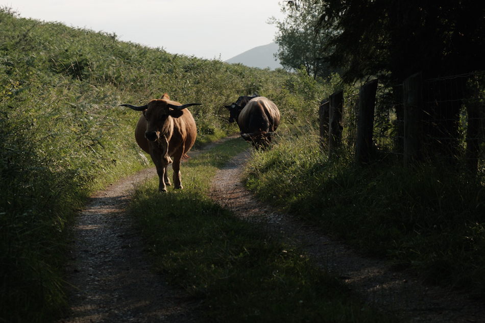 Cows and bulls in Pilona, Asturias Travel Photography by Ben Holbrook from DriftwoodJournals.com-2940