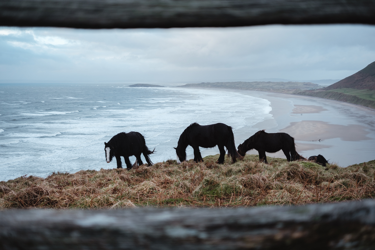 Wild horses graze in Rhossili Bay (Gower Peninsula, South Wales).