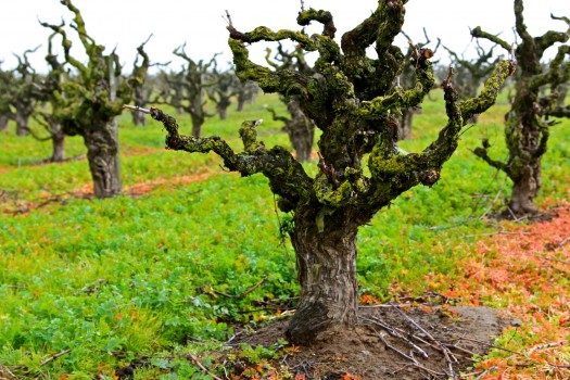 Old Vine Zinfandel, Wegat Vineyard, Lodi AVA. Photography by Randy Caparoso.
