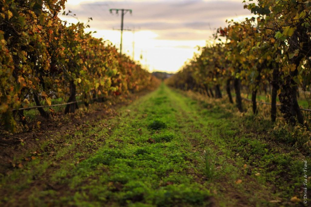 Vineyard, Barossa Valley