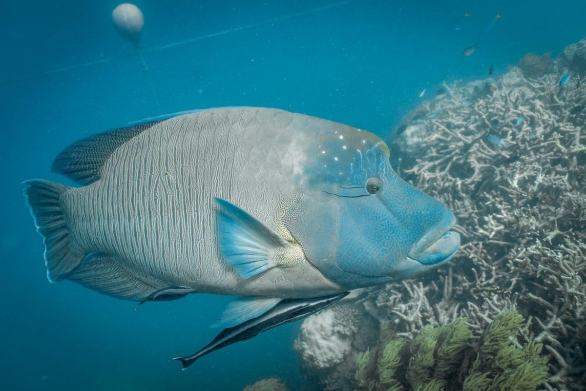 Napoleon Wrasse in the Great Barrier Reef