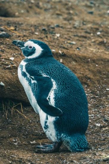 Chile Punta Arenas penguins-8934