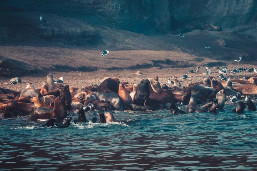 Chile Punta Arenas sea lions-9010
