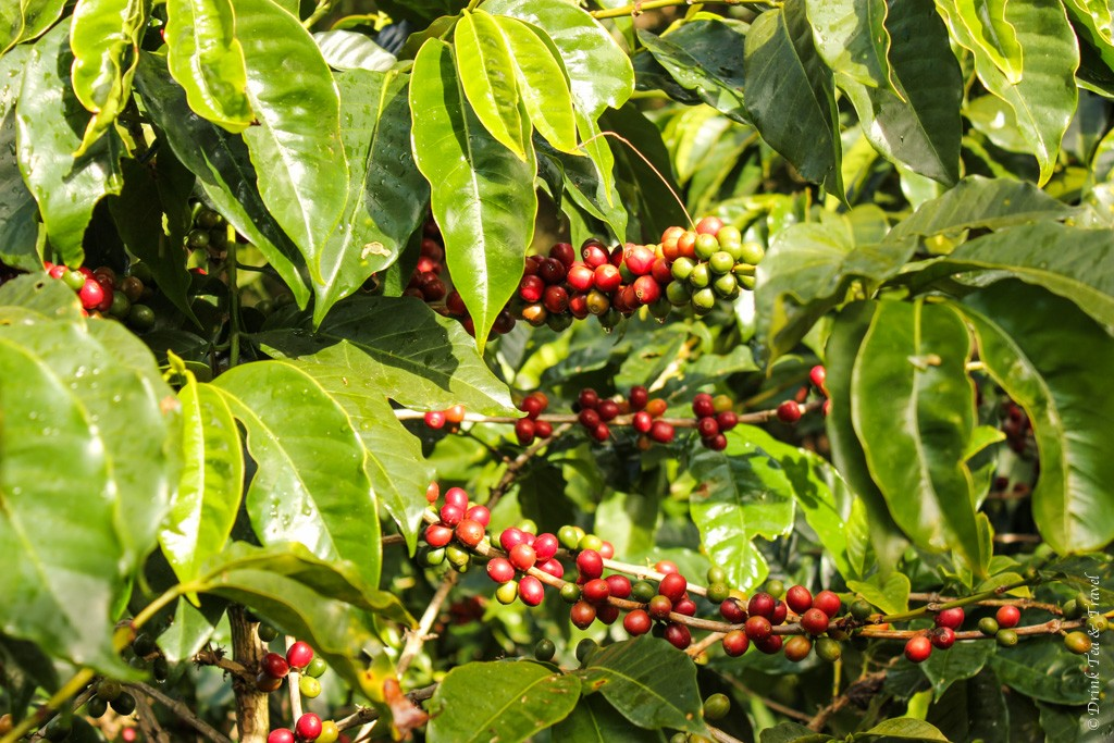 Reasons to visit Monteverde Cloud Forest: Coffee tree at the Don Juan Coffee Planation in Monteverde