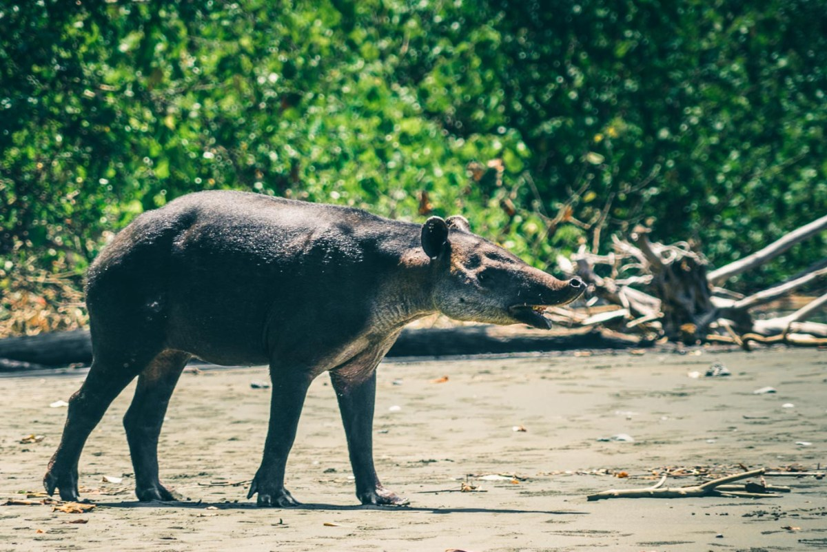 Baird's Tapir, one of the rarest mammals to see in Corcovado National Park