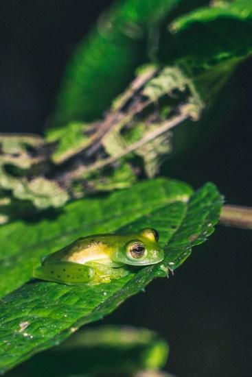 Costa Rica Osa Frog-7565
