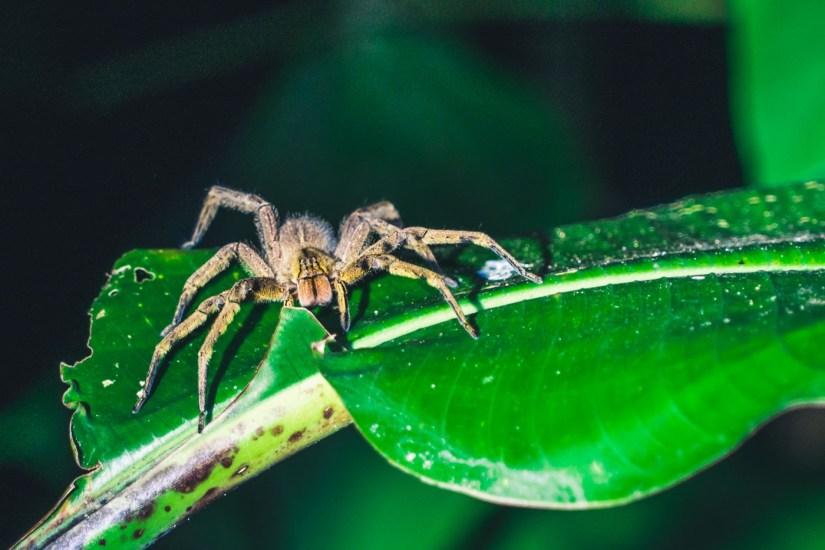 Costa Rica Osa Spider-7432