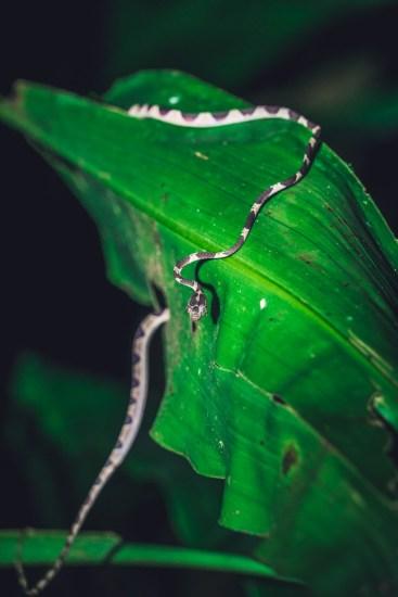 Costa Rica Puerto Jimenez snake-7581