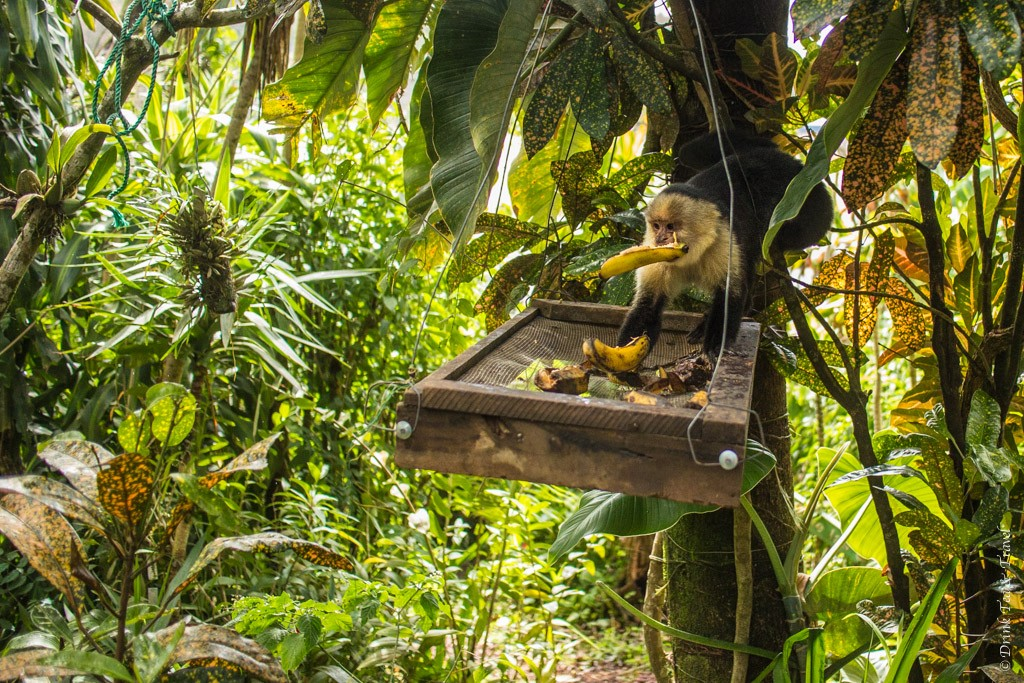 Costa Rica Animals: White Headed Capuchin Monkey,