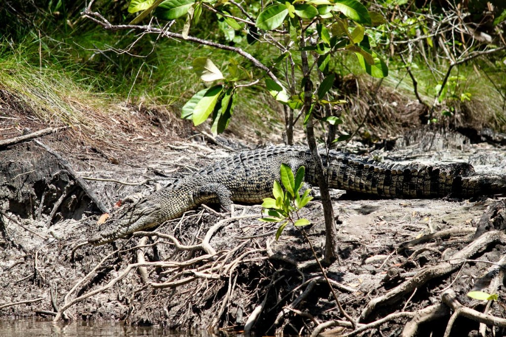 Salt water crocodile resting on the banks of the Daintree River
