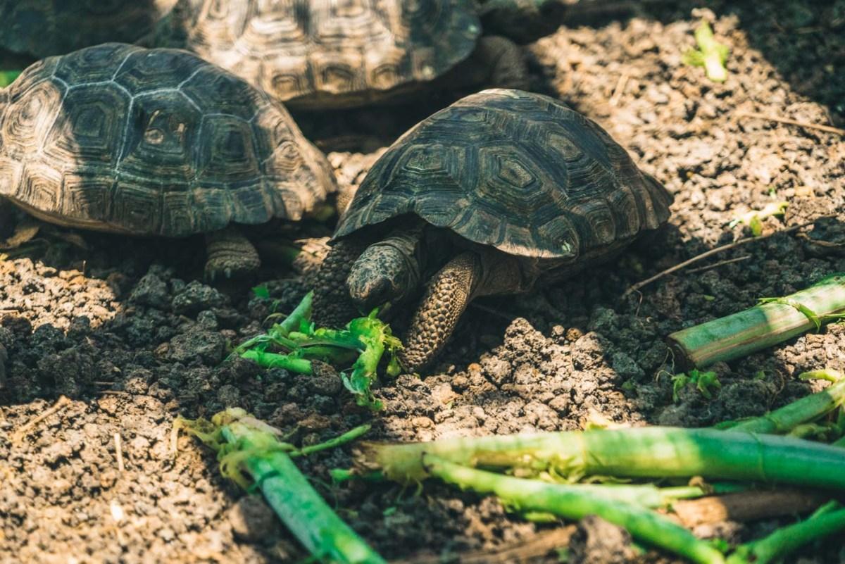 Baby tortoises at the Tortoise Breeding Centre on Isabela Island